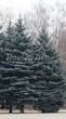 Посадка крупномеров Ели колючей (Ели голубой) формы голубой (Picea pungens) - 202