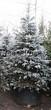 Посадка крупномеров Ели колючей (Ели голубой) формы голубой (Picea pungens) - 205