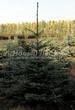 Посадка крупномеров Ели колючей (Ели голубой) формы голубой (Picea pungens) - 206