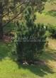 Посадка крупномеров Сосны горной (Pinus mugo) - 201