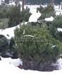 Посадка крупномеров Сосны горной (Pinus mugo) - 202