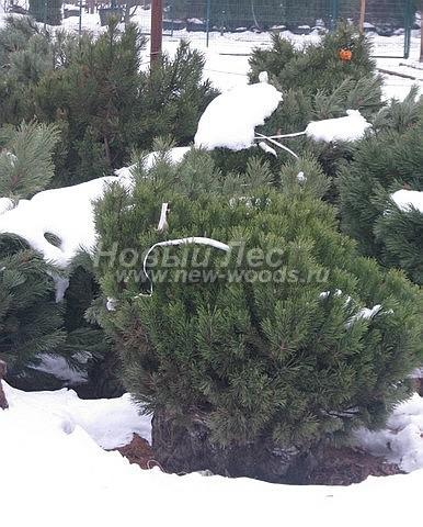 Посадка крупномеров Сосны горной (Pinus mugo) - Фото 202 - Многолетние растения сосны горной, подготовленные для зимней посадки на участке (зима, декабрь, Московская область)