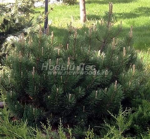 Посадка крупномеров Сосны горной (Pinus mugo) - Фото 203 - Высаженный в конце зимы крупномер сосны горной хорошо прижился на новом месте после посадки (цветение растения, весна, май)