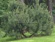 Посадка крупномеров Сосны горной (Pinus mugo) - 204