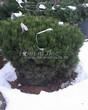 Посадка крупномеров Сосны горной (Pinus mugo) - 205