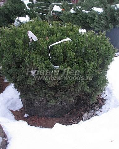 Посадка крупномеров Сосны горной (Pinus mugo) - Фото 205 - Растения сосны горной с корневой системой, сформированной в виде кома при выкапывании из грунта (зима)