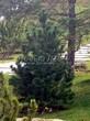Посадка крупномеров Сосны горной (Pinus mugo) - 206