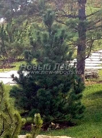 Посадка крупномеров Сосны горной (Pinus mugo) - Фото 206 - Крупномер сосны, посаженный в рамках озеленения территории по проекту ландшафтного дизайна (ноябрь, осень, Тульская область)
