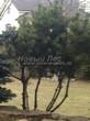 Посадка крупномеров Сосны горной (Pinus mugo) - 207