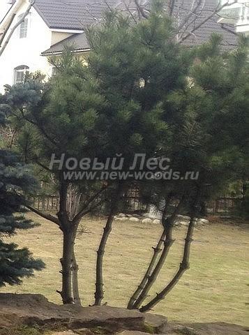 Посадка крупномеров Сосны горной (Pinus mugo) - Фото 207 - Посадка на альпийской горке: растение Сосна горная, нижние ветви которого удаляют, формируя определённый декоративный вид