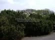 Посадка крупномеров Сосны горной (Pinus mugo) - 208