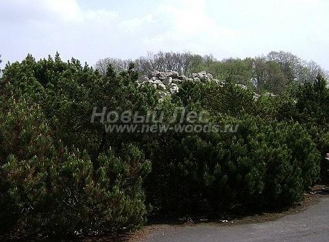 Посадка крупномеров Сосны горной (Pinus mugo) - Фото 208 - Крупномерные растения сосны горной в парке, посадка формирующая стену (живую изгородь)