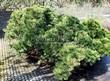 Посадка крупномеров Сосны горной (Pinus mugo) - 209