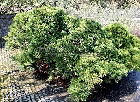 Посадка крупномеров Сосны горной (Pinus mugo) - Фото 209 - Сосна горная на участке - декоративная композиция