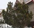 Посадка крупномеров Сосны горной (Pinus mugo) - 210