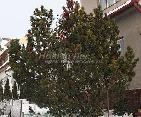 Посадка крупномеров Сосны горной (Pinus mugo) - Фото 210 - Взрослое растение сосны горной (Pinuc mugo), растущее на территории у дома
