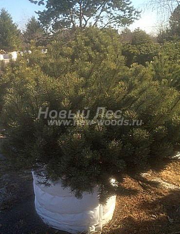 Посадка крупномеров Сосны горной (Pinus mugo) - Фото 211 - Крупномер Сосна горная с упакованной корневой системой, подготовленный для посадки (март, весна, Тульская область)