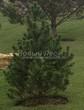 Посадка крупномеров Сосны горной подвид муго (Pinus mugo subsp. mugo) - 201