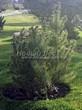Посадка крупномеров Сосны горной подвид муго (Pinus mugo subsp. mugo) - 202