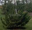 Посадка крупномеров Сосны горной подвид муго (Pinus mugo subsp. mugo) - 203