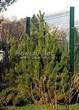 Посадка крупномеров Сосны горной подвид муго (Pinus mugo subsp. mugo) - 204