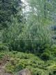Посадка крупномеров Сосны горной подвид муго (Pinus mugo subsp. mugo) - 205