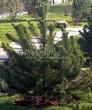 Посадка крупномеров Сосны горной подвид муго (Pinus mugo subsp. mugo) - 206