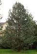 Посадка крупномеров Сосны черной (австрийской) (Pinus nigra) - 201