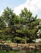Посадка крупномеров Сосны черной (австрийской) (Pinus nigra) - 202