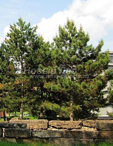 Посадка крупномеров Сосны черной (австрийской) (Pinus nigra) - Фото 202 - Посадка крупномеров сосен популярна в городском озеленении (Сосна черная)