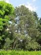 Посадка крупномеров Сосны черной (австрийской) (Pinus nigra) - 203