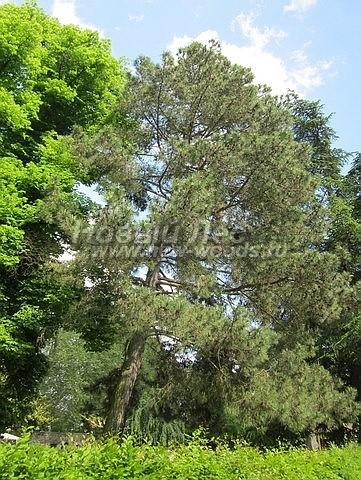 Посадка крупномеров Сосны черной (австрийской) (Pinus nigra) - Фото 203 - Высаженные в парках сосны живут долгие годы и вырастают до больших размеров