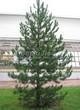 Посадка крупномеров Сосны черной (австрийской) (Pinus nigra) - 204