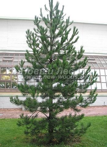 Посадка крупномеров Сосны черной (австрийской) (Pinus nigra) - Фото 204 - Сосна чёрная (крупномер) - хвойное дерево в городском парке (осень, сентябрь, Москва)