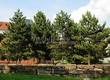 Посадка крупномеров Сосны черной (австрийской) (Pinus nigra) - 205