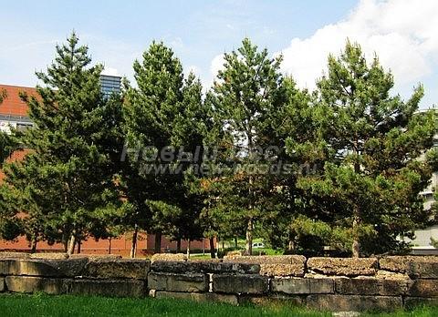 Посадка крупномеров Сосны черной (австрийской) (Pinus nigra) - Фото 205 - Крупномерные деревья Сосны черной - высадка в пределах городской черты
