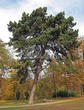 Посадка крупномеров Сосны черной (австрийской) (Pinus nigra) - 206