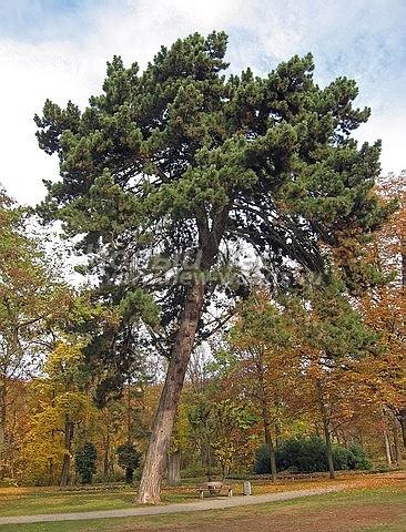 Посадка крупномеров Сосны черной (австрийской) (Pinus nigra) - Фото 206 - Сосна черная, как и другие виды хвойных деревьев, украшает ландшафт после посадки своей зеленью круглый год