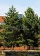 Посадка крупномеров Сосны черной (австрийской) (Pinus nigra) - 207