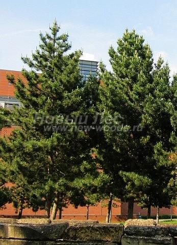 Посадка крупномеров Сосны черной (австрийской) (Pinus nigra) - Фото 207 - Посадка хвойных растений позволяет улучшить экологическое состояние атмосферы на территории (Сосна черная австрийская)