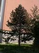 Посадка крупномеров Сосны черной (австрийской) (Pinus nigra) - 208