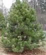 Посадка крупномеров Сосны черной (австрийской) (Pinus nigra) - 209