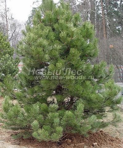 Посадка крупномеров Сосны черной (австрийской) (Pinus nigra) - Фото 209 - Посадка крупномеров вида Сосна черная на участке в Московской области (высота 4 метра, весна, апрель)