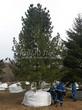 Посадка крупномеров Сосны сибирской кедровой (Сибирского кедра) (Pinus sibirica) - 201