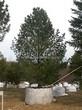 Посадка крупномеров Сосны сибирской кедровой (Сибирского кедра) (Pinus sibirica) - 202