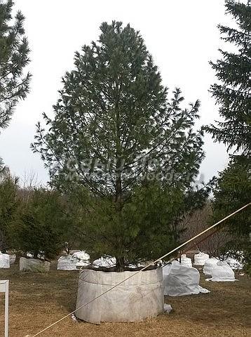 Кедр сибирский: посадка крупномеров хвойных деревьев сосны
