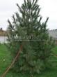 Посадка крупномеров Сосны сибирской кедровой (Сибирского кедра) (Pinus sibirica) - 203
