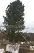 Посадка крупномеров Сосны сибирской кедровой (Сибирского кедра) (Pinus sibirica) - 204
