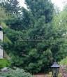 Посадка крупномеров Сосны сибирской кедровой (Сибирского кедра) (Pinus sibirica) - 205