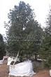 Посадка крупномеров Сосны сибирской кедровой (Сибирского кедра) (Pinus sibirica) - 206